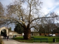 Milzīgais koks katedrāles dārzā