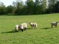 Straumēnu aitas